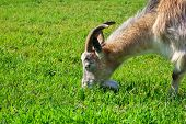 picture of eat grass  - Goat eating grass - JPG