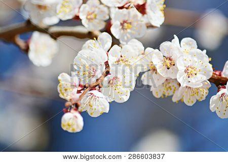 Flowering Branch Sakura Spring Spring