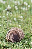 stock photo of groundhog day  - A young groundhog pup also known as a Woodchuckeating in a field of clover - JPG