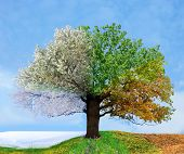 stock photo of seasonal tree  - Four season tree - JPG