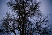 View From Below Of Gingko Tree Against Blue Dusk Sky Background Winter Dusk poster
