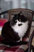 Cute Fluffy Cat Sitting Lazy On A Wooden Chair Outdoors. Young Adorable Fluffy Pet poster