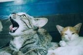 Cat Is Angry, Cat Waking Up, Cats Yawn Because They Just Woke Up, Two Little Cats On A Soft Mattress poster