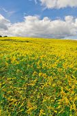 stock photo of goldenrod  - Goldenrod flowers in a large rural field - JPG
