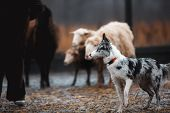 Two Border Collie Dog Red-haired Black And White Grazing Sheep In The Paddock. Raw Dog. Sports Disci poster