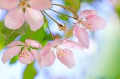 Stamens Of Blossom Flowers With Pink And Red Petals On Background Of Blue Sky. Easter Background Wit poster
