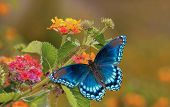 stock photo of lantana  - Beautiful Red Spotted Purple Admiral butterfly on colorful Lantana flower in sunshine - JPG
