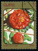 Cuba - Circa 1984: Post Stamp Printed In Cuba Shows Image Of Brownea Grandiceps (rose Of Venezuela O
