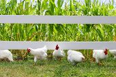 pic of roosters  - Fluffy white chickens and roosters are running toward the camera from under a fence in a corn field on a farm - JPG
