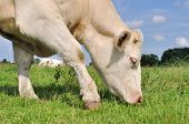 pic of charolais  - close up of a cow grazing in the meadow grass - JPG