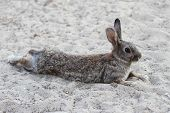 pic of rabbit hutch  - pose of a humorous tired rabbit lying down to rest - JPG
