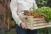 stock photo of root vegetables  - Midsection of woman carrying crate full of freshly harvested vegetables in garden - JPG
