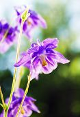 pic of columbine  - Purple Columbine aquilegia photographed in an outdoor garden environment under natural light - JPG