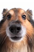 stock photo of sheltie  - Close up of a Shetland Sheepdog or Sheltie - JPG
