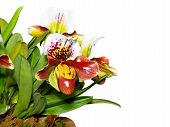 image of rare flowers  - Slipper Orchid  - JPG