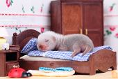 stock photo of ferrets  - Male ferret baby in the doll house sleeps on a little bed - JPG