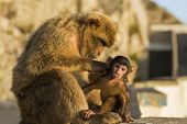 picture of gibraltar  - A Baby Berber Monkey With Its Mother In Gibraltar