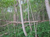 foto of starving  - Spring Time in section of reborn forest at Starved Rock State Park - JPG