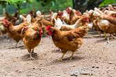 image of fowl  - Happy hens in cage free - JPG