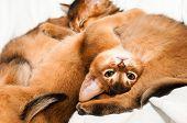 picture of ruddy-faced  - Upside down portrait of lying abyssinian kitten - JPG