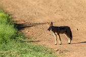 picture of jackal  - Blackback jackal animal hunting around waterhole dirt road in wildlife park reserve - JPG