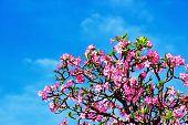 stock photo of desert-rose  - Beautiful desert rose or ping bignonia blue sky - JPG