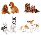 pic of hairy tongue  - Dog collage - JPG
