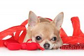 pic of chiwawa  - Chihuahua lying in a red ribbon on white background - JPG