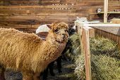 foto of feedlot  - brown alpaca in a stable eating hay - JPG