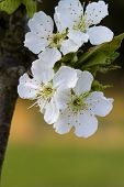 stock photo of bing  - This is the white spring blossoms of a bing cherry tree - JPG