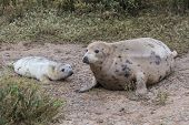picture of sea cow  - Grey Seal Cow and Pup in the dunes on a beach [[** Note: Shallow depth of field ** Note: Soft Focus at 100%, best at smaller sizes - JPG