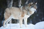 stock photo of wolf-dog  - One wolf looking after pray in the woods a cold day in the winter - JPG
