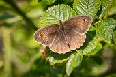 stock photo of gatekeeper  - close up of a gatekeeper butterfly with wings open on a natural green background - JPG