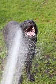 picture of alsatian  - The German Shepherd dog bathing in hot weather - JPG