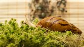 picture of tigers-eye  - Snail - JPG
