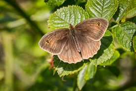 image of gatekeeper  - close up of a gatekeeper butterfly with wings open on a natural green background - JPG