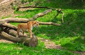 stock photo of tigress  - Tiger in nature - JPG