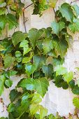 Vines On Weathered White Stone Wall poster