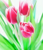 picture of brighten  - Closeup of tulip bouquet on white background - JPG