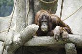 picture of orangutan  - Orangutan and I are having a staring match while he eats - JPG