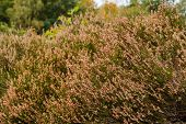foto of ling  - Heath vegetation in autumn after blooming. Beautiful pink colors remain in the autumn sun. Drenthe The Netherlands. ** Note: Shallow depth of field - JPG