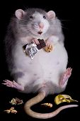 stock photo of rats  - A fat rat named Drucilla is eating candy and cookies - JPG