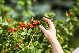 pic of wild-brier  - Gathering berries of wild rose - JPG