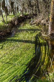 pic of algae  - group of algae blooms in a small river - JPG