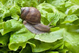 stock photo of garden snail  - Slug in the garden eating a lettuce leaf - JPG