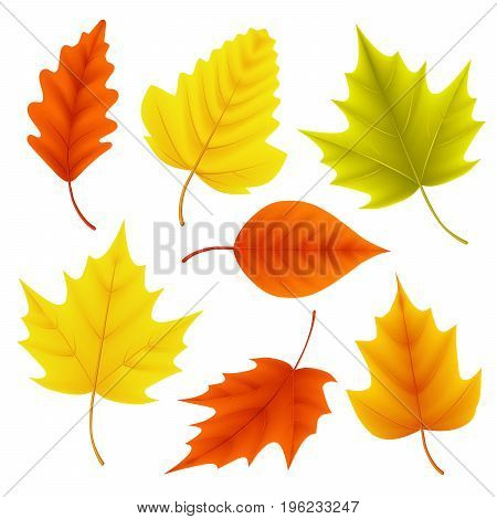 poster of Autumn leaves vector set for fall seasonal elements with maple and oak leaf in colors isolated in white background. Vector illustration.