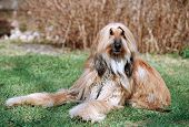 picture of foxhound  - hound  - JPG