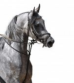 picture of white horse  - arabian horse - JPG