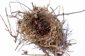 Northern Mocking Bird Nest. Nest of the Northern Mocking Bird. Mocking Bird Nest made from Twigs, Br poster