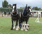 stock photo of clydesdale  - A Pair of Clydsedales being hitched to a sled - JPG